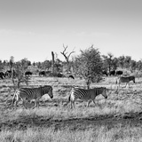 Awesome South Africa Collection Square - Herd of Zebra B&W Photographic Print by Philippe Hugonnard