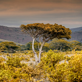Awesome South Africa Collection Square - Umbrella Acacia Tree III Photographic Print by Philippe Hugonnard