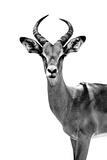 Safari Profile Collection - Antelope White Edition Photographic Print by Philippe Hugonnard