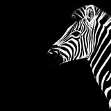 Safari Profile Collection - Zebra Portrait Black Edition III Photographic Print by Philippe Hugonnard