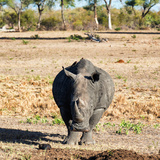 Awesome South Africa Collection Square - Black Rhino Photographic Print by Philippe Hugonnard