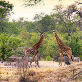 Awesome South Africa Collection Square - Two Giraffes and Herd of Zebras Photographic Print by Philippe Hugonnard