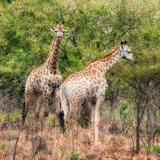 Awesome South Africa Collection Square - Two Giraffes Photographic Print by Philippe Hugonnard