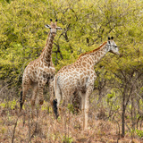 Awesome South Africa Collection Square - Two Giraffes II Photographic Print by Philippe Hugonnard