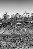 Awesome South Africa Collection B&W - Trio of Common Zebras II Photographic Print by Philippe Hugonnard