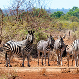 Awesome South Africa Collection Square - Herd of Zebra II Photographic Print by Philippe Hugonnard