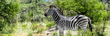Awesome South Africa Collection Panoramic - Zebra Profile Photographic Print by Philippe Hugonnard