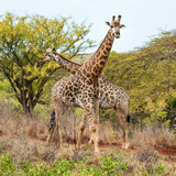 Awesome South Africa Collection Square - Crossing Giraffes Photographic Print by Philippe Hugonnard
