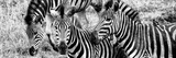 Awesome South Africa Collection Panoramic - Three Burchell's Zebra B&W Photographic Print by Philippe Hugonnard