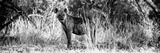 Awesome South Africa Collection Panoramic - Hyena B&W Photographic Print by Philippe Hugonnard
