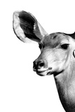 Safari Profile Collection - Antelope Impala Portrait White Edition IV Photographic Print by Philippe Hugonnard