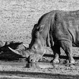Awesome South Africa Collection Square - Black Rhino drinking from pool of water Photographic Print by Philippe Hugonnard