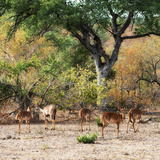 Awesome South Africa Collection Square - Herd of Impalas Photographic Print by Philippe Hugonnard