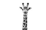 Safari Profile Collection - Giraffe Portrait White Edition II Photographic Print by Philippe Hugonnard
