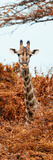 Awesome South Africa Collection Panoramic - Curious Giraffe with Red Savanna II Fotografiskt tryck av Philippe Hugonnard