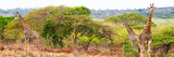 Awesome South Africa Collection Panoramic - Three Giraffes Fotografiskt tryck av Philippe Hugonnard