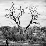 Awesome South Africa Collection Square - Dead Acacia Tree Photographic Print by Philippe Hugonnard