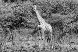 Awesome South Africa Collection B&W - African Giraffe III Photographic Print by Philippe Hugonnard