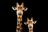 Safari Profile Collection - Portrait of Giraffe and Baby Black Edition V Photographic Print by Philippe Hugonnard