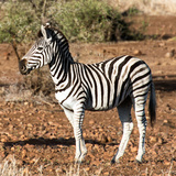 Awesome South Africa Collection Square - Burchell's Zebra Profile Photographic Print by Philippe Hugonnard