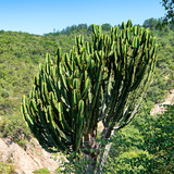 Awesome South Africa Collection Square - Cactus Tree Photographic Print by Philippe Hugonnard