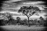 Awesome South Africa Collection B&W - African Landscape with Acacia Tree Photographic Print by Philippe Hugonnard
