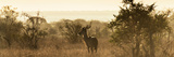 Awesome South Africa Collection Panoramic - Impala Sunrise Photographic Print by Philippe Hugonnard