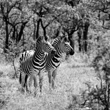 Awesome South Africa Collection Square - Two Common Zebras B&W Photographic Print by Philippe Hugonnard