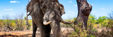 Awesome South Africa Collection Panoramic - Portrait of African Elephant in Savannah III Photographic Print by Philippe Hugonnard