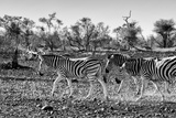 Awesome South Africa Collection B&W - Trio of Common Zebras III Photographic Print by Philippe Hugonnard