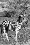 Awesome South Africa Collection B&W - Burchell's Zebra with Oxpecker IV Photographic Print by Philippe Hugonnard