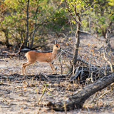 Awesome South Africa Collection Square - Baby Impala Photographic Print by Philippe Hugonnard