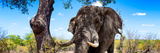 Awesome South Africa Collection Panoramic - Portrait of African Elephant in Savannah Photographic Print by Philippe Hugonnard