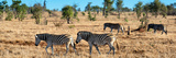 Awesome South Africa Collection Panoramic - Herd of Burchell's Zebras Photographic Print by Philippe Hugonnard