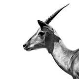 Safari Profile Collection - Antelope Impala White Edition III Photographic Print by Philippe Hugonnard