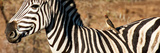 Awesome South Africa Collection Panoramic - Redbilled Oxpecker on Burchell's Zebra V Photographic Print by Philippe Hugonnard