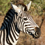 Awesome South Africa Collection Square - Zebra Head Photographic Print by Philippe Hugonnard