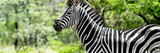 Awesome South Africa Collection Panoramic - Close-Up of Zebra Photographic Print by Philippe Hugonnard