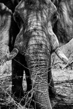 Awesome South Africa Collection B&W - Elephant Portrait IX Fotodruck von Philippe Hugonnard