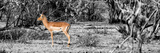 Awesome South Africa Collection Panoramic - Impala Antelope II Photographic Print by Philippe Hugonnard