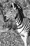 Awesome South Africa Collection B&W - Burchell's Zebra Portrait II Photographic Print by Philippe Hugonnard