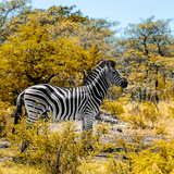 Awesome South Africa Collection Square - Zebra Profile II Photographic Print by Philippe Hugonnard