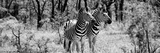 Awesome South Africa Collection Panoramic - Two Burchell's Zebra B&W Photographic Print by Philippe Hugonnard