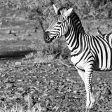 Awesome South Africa Collection Square - Portrait of Burchell's Zebra with Oxpecker B&W Photographic Print by Philippe Hugonnard