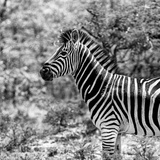 Awesome South Africa Collection Square - Zebra Portrait B&W Photographic Print by Philippe Hugonnard