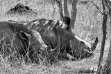 Awesome South Africa Collection B&W - Two White Rhino slepping Photographic Print by Philippe Hugonnard