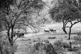 Awesome South Africa Collection B&W - Herd of Zebras in the Savannah Photographic Print by Philippe Hugonnard
