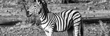 Awesome South Africa Collection Panoramic - Burchell's Zebra II B&W Photographic Print by Philippe Hugonnard