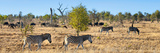 Awesome South Africa Collection Panoramic - Herd of Burchell's Zebras II Photographic Print by Philippe Hugonnard