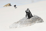 Awesome South Africa Collection - Penguin Lovers Photographic Print by Philippe Hugonnard
